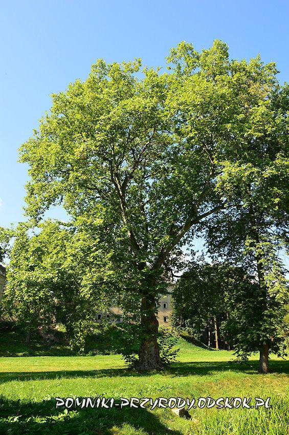 platan w gorzanowskim parku