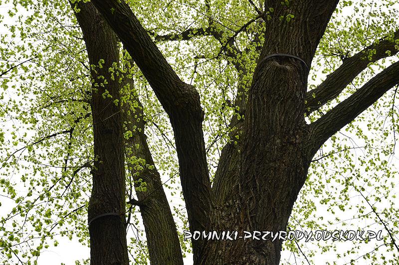 sztywne wiązania w koronie pomnikowej lipy