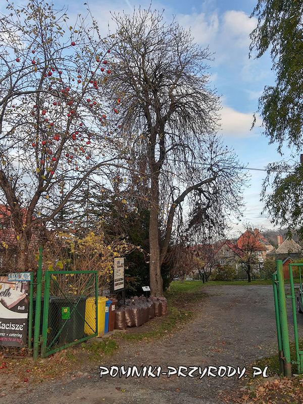 Bolków - pomnikowy kasztanowiec jesienią