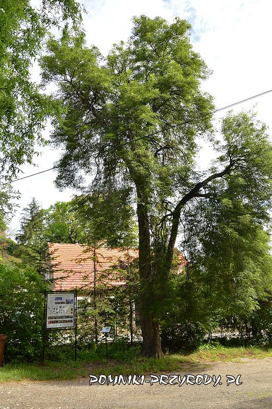 Bolków - pomnikowy kasztanowiec w odm. strzępolistnej