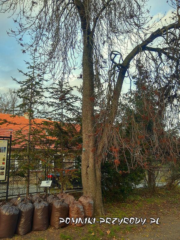 Bolków - pomnikowy kasztanowiec