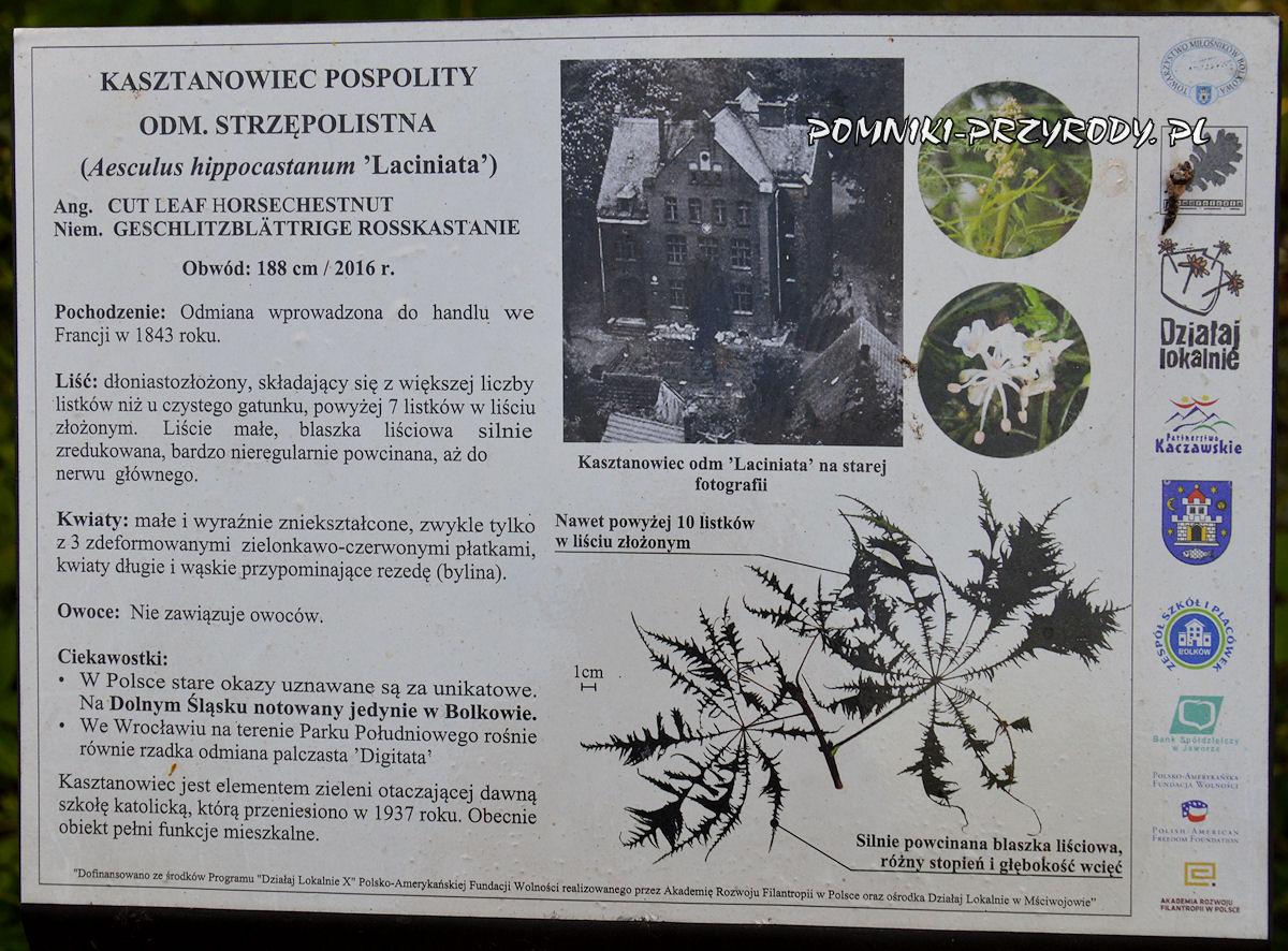 Bolków - tablica opisująca pomnikowy kasztanowiec