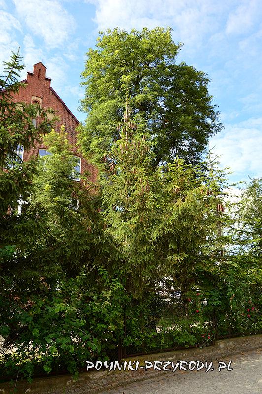 Bolków - widok pomnikowego kasztanowca od strony północnej