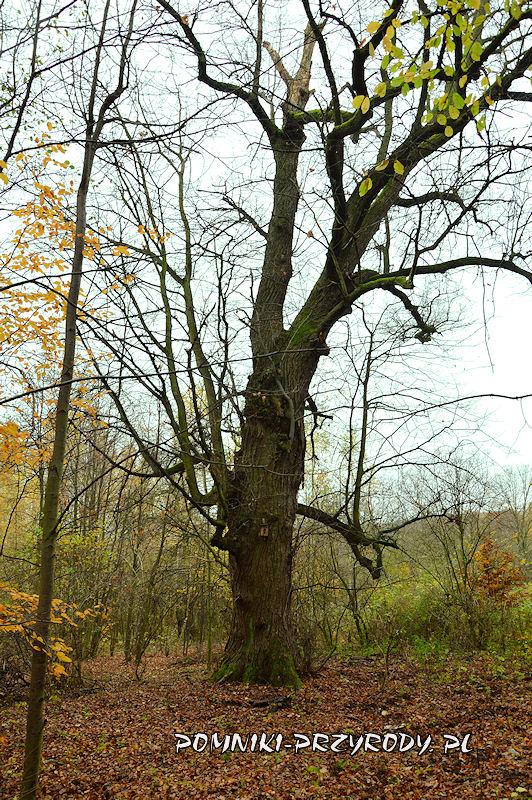 Chełmiec-Raczyce - druga z pomnikowych lip