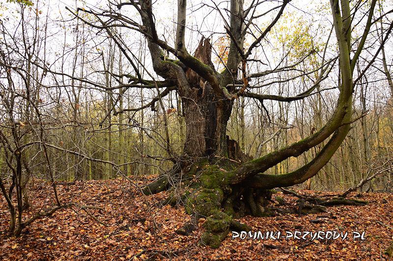 Chełmiec-Raczyce - lipa o nietypowym pokroju