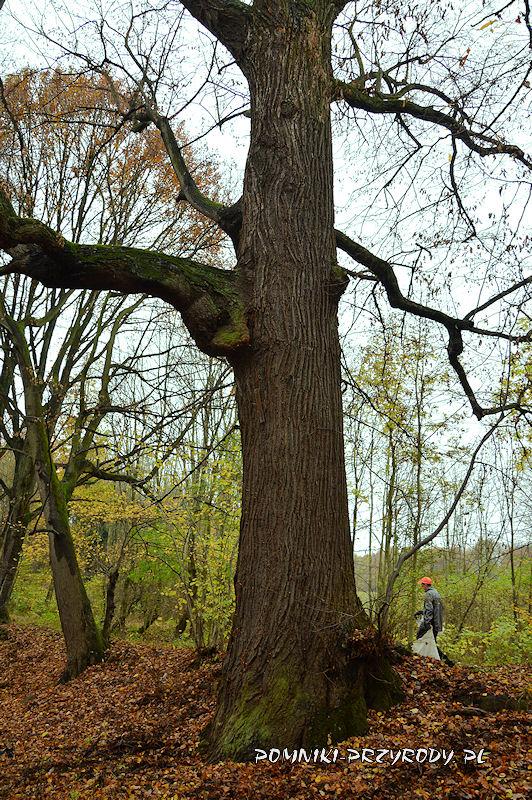 Chełmiec-Raczyce - pień pomnikowej lipy