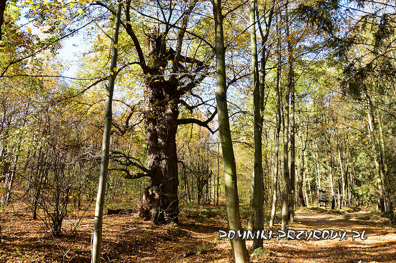 Chełmiec-Raczyce - pierwsza z pomnikowych lip jesienią