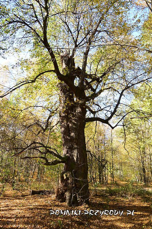 Chełmiec-Raczyce - pomnikowa lipa I jesienią