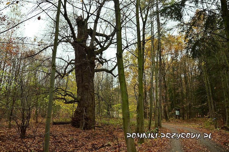 Chełmiec-Raczyce - pomnikowa lipa I