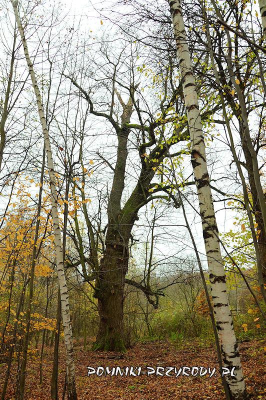 Chełmiec-Raczyce - pomnikowa lipa II