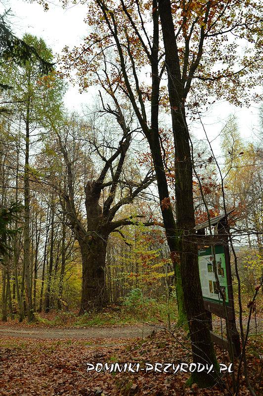 Chełmiec-Raczyce - pomnikowa lipa na trasie ścieżki Śladami Kopaczy