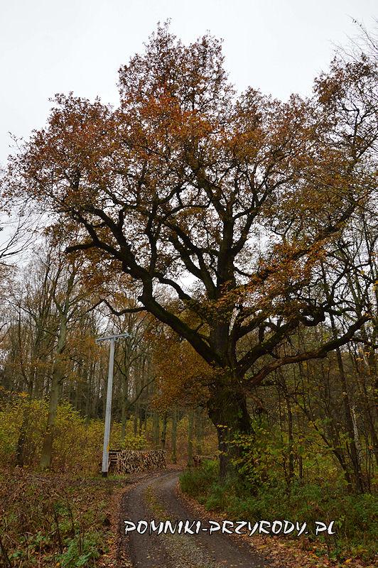 Chełmiec-Raczyce - pomnikowy dąb jesienią