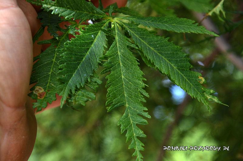 liście kasztanowca w odm. Laciniata