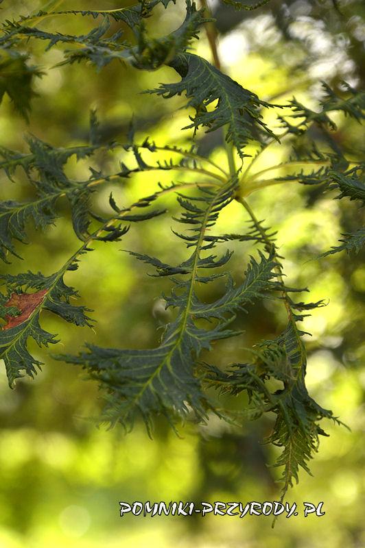 liście kasztanowca w odm. strzępolistnej