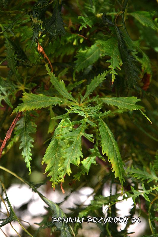 liście kasztanowca w odmianie strzępolistnej