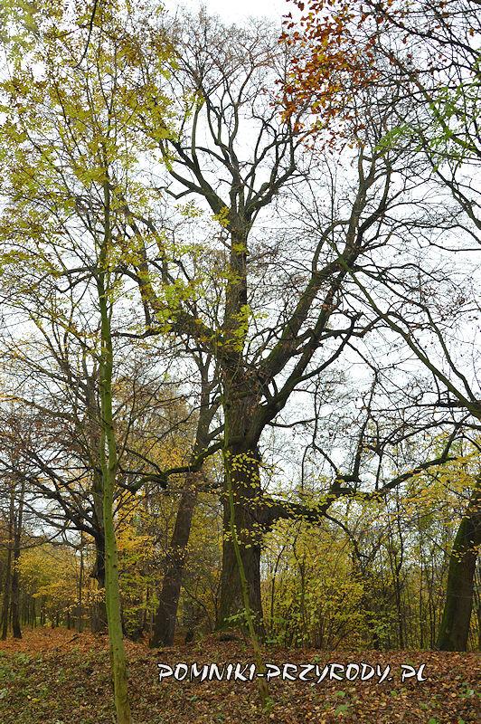 pomnikowa lipa rosnąca 100 m na północny wschód od Chaty pod Lipą