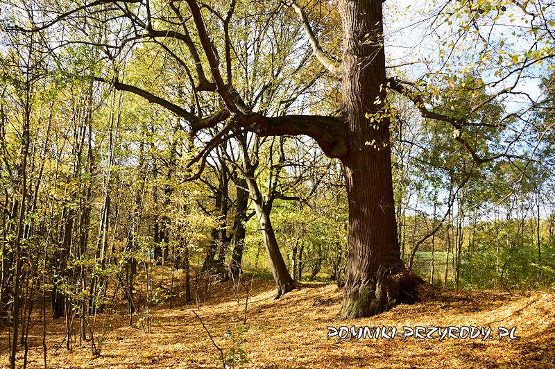 pomnikowa lipa w Chełmcu-Raczyce