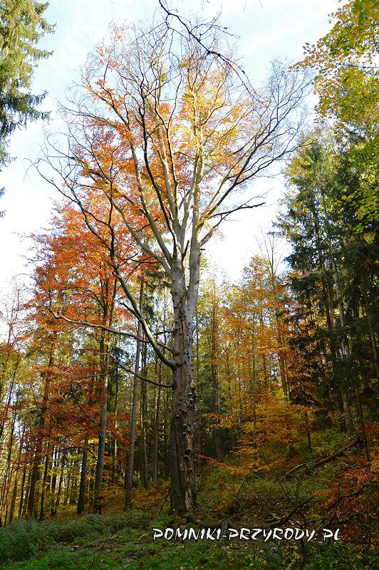 pomnikowy buk pospolity rosnący na terenie leśnym w pobliżu Chełmca
