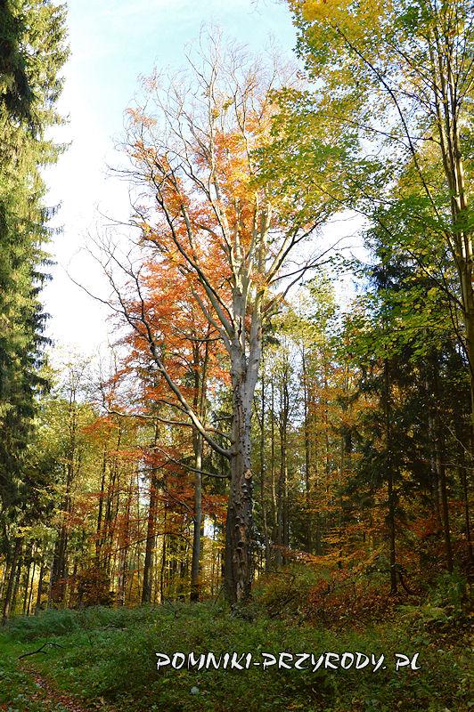 pomnikowy buk rosnący na terenie leśnym w pobliżu Chełmca