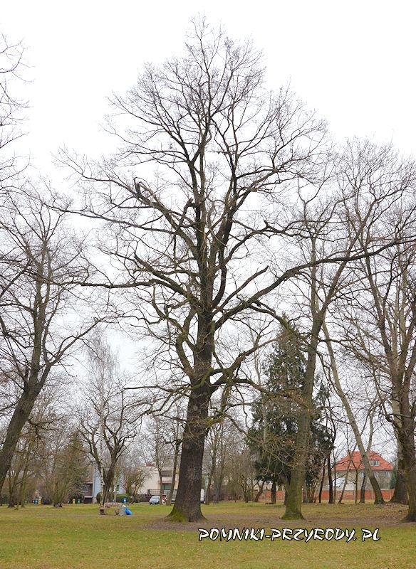 pomnikowy Dąb Jegrów w Oleśnicy