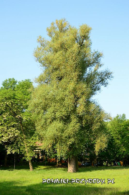 Oleśnica - pomnikowa wierzba