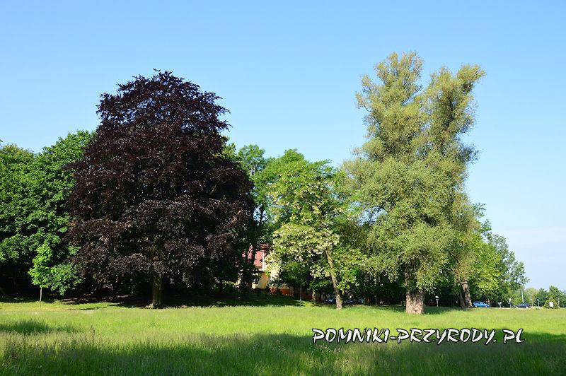 Oleśnica - pomnikowy buk i wierzba