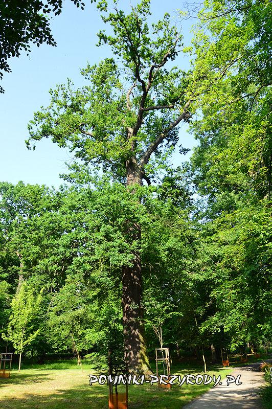 Park Książąt Oleśnickich - drugi z pomnikowych dębów