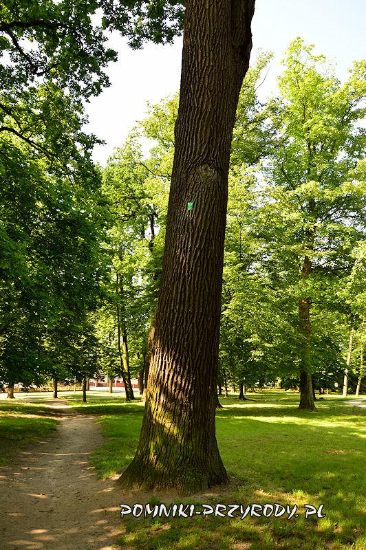 Park Książąt Oleśnickich - pień pomnikowego dębu I