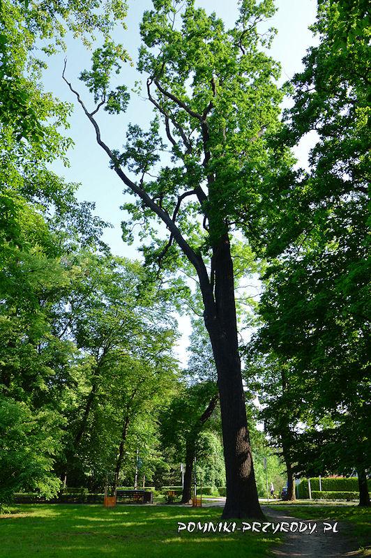 Park Książąt Oleśnickich - pierwszy z pomnikowych dębów
