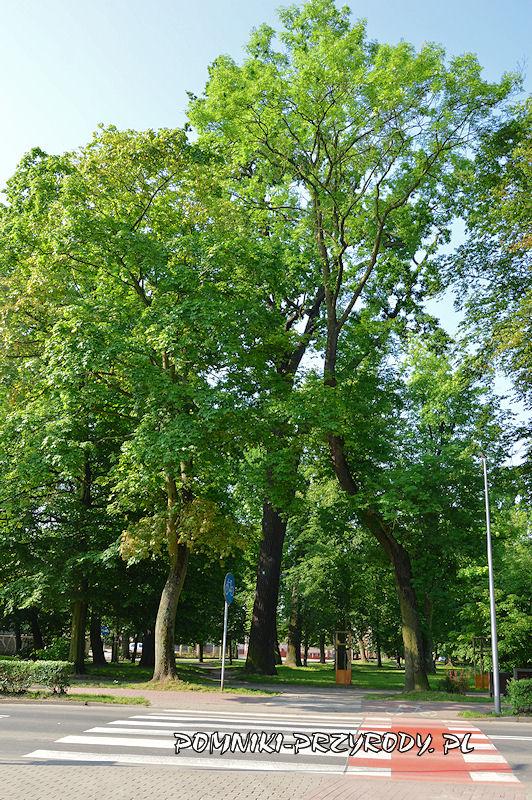 Park Książąt Oleśnickich - pomnikowy dąb I