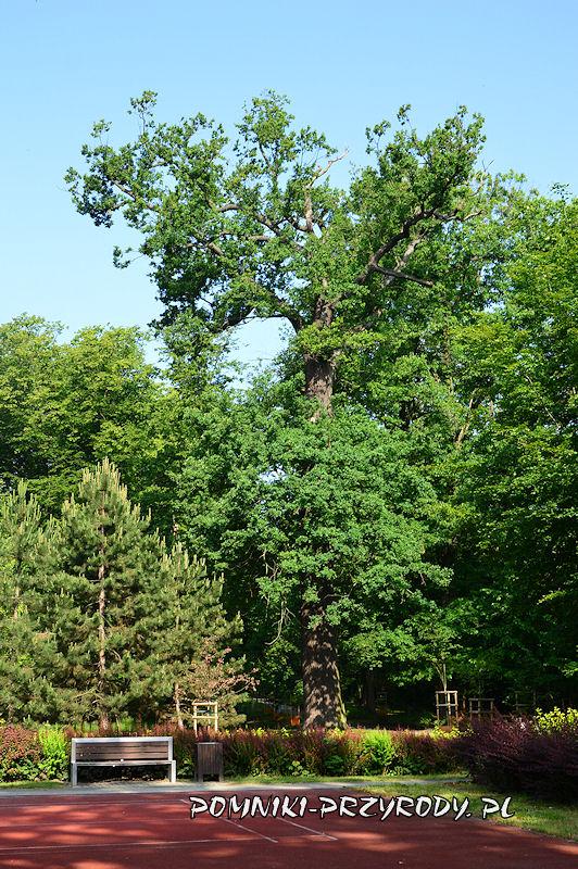Park Książąt Oleśnickich - pomnikowy dąb II