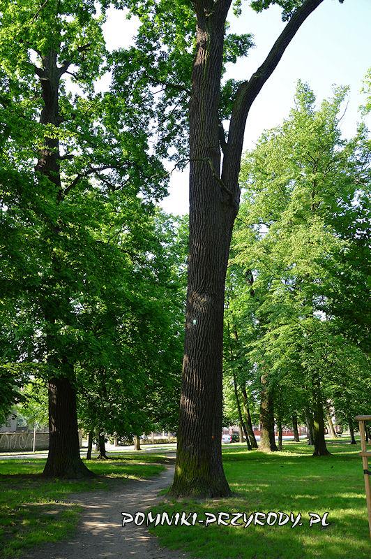 Park Książąt Oleśnickich - pomnikowy dąb o obwodzie 380 cm