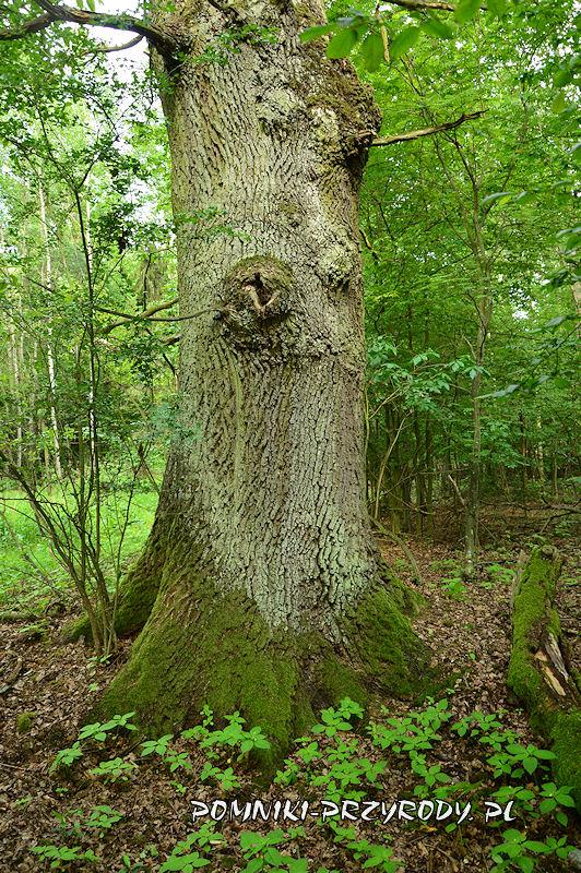las k. wsi Kamień - pień pomnikowego dębu latem