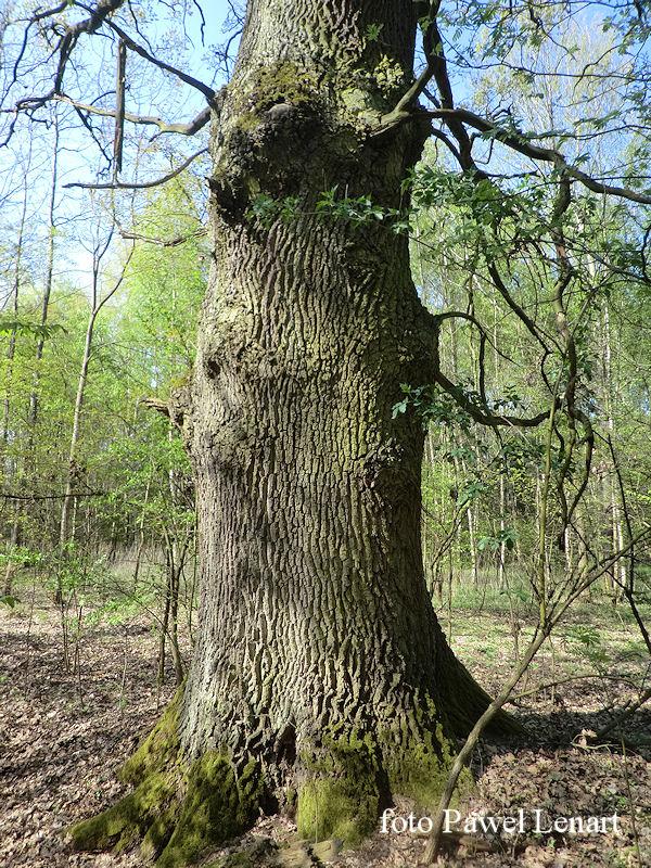 las k. wsi Kamień - pień pomnikowego dębu wczesną wiosną