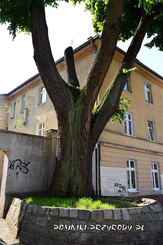 pień pomnikowej lipy rosnącej obok bazyliki w Oleśnicy