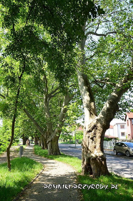 pomnik przyrody - szpaler platanów w Oleśnicy