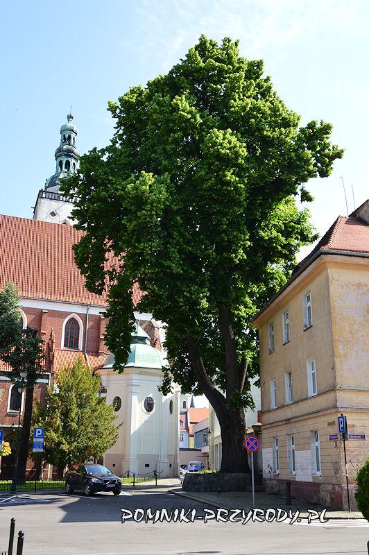 pomnikowa lipa rosnąca obok Bazyliki Mniejszej w Oleśnicy