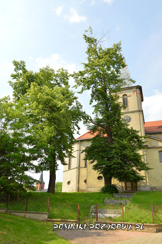 pomnikowe lipy na tle kościoła w Międzyborzu