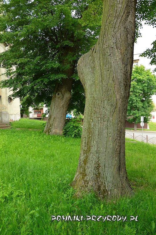 pomnikowe lipy przy kościele w Międzyborzu