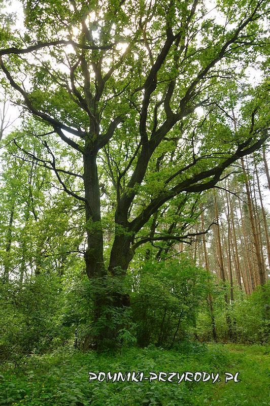 pomnikowy dąb rosnący k. wsi Niwki Kraszowskie
