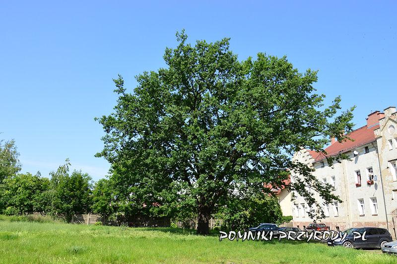 pomnikowy dąb rosnący przy ul. Lwowskiej w Oleśnicy