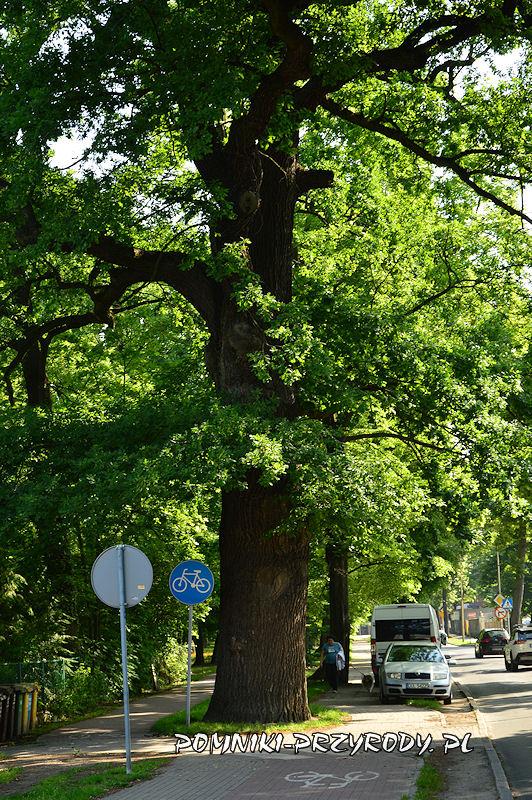 pomnikowy dąb rosnący przy ul. Wały Jagiellońskie w Oleśnicy