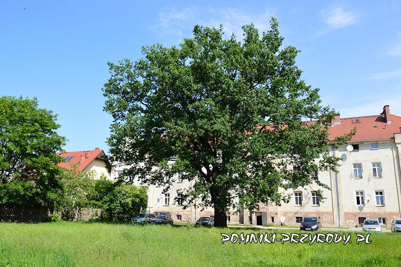 pomnikowy dąb z ul. Lwowskiej w Oleśnicy