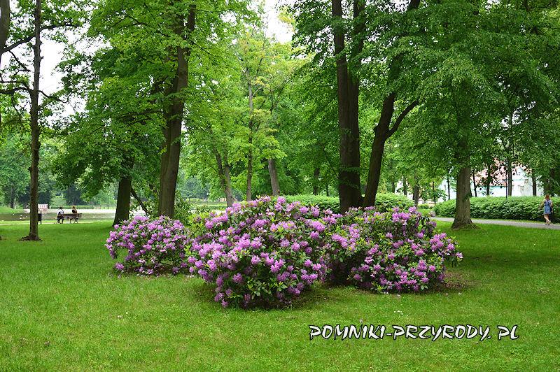 Park Miejski w Sycowie - kwitnące rododendrony