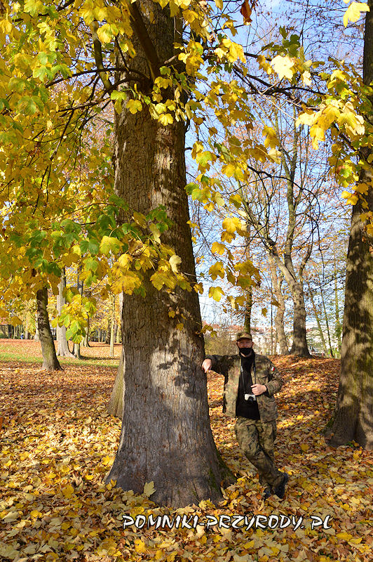 Park Miejski w Sycowie - pień pomnikowego klonu jaworu