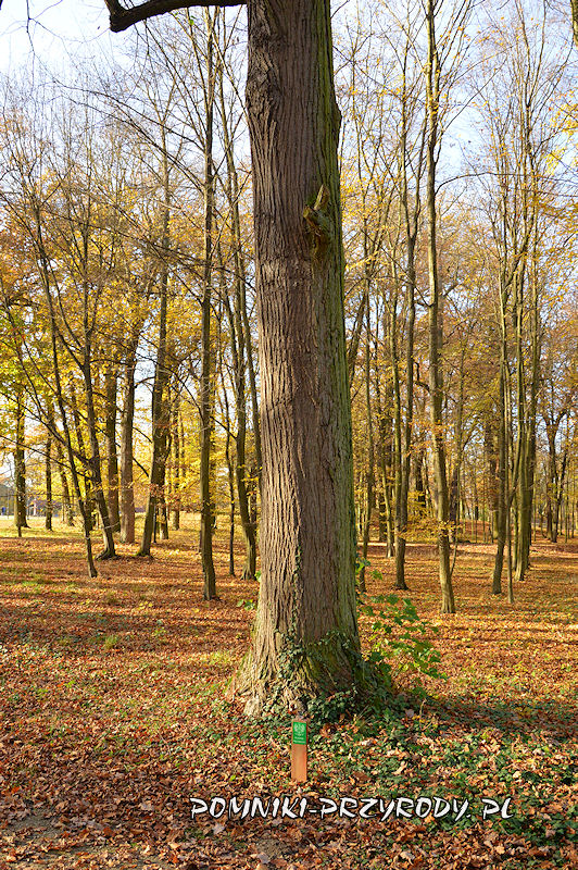 Park Miejski w Sycowie - pień pomnikowej lipy drobnolistnej