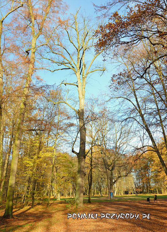 Park Miejski w Sycowie - pomnikowa lipa drobnolistna