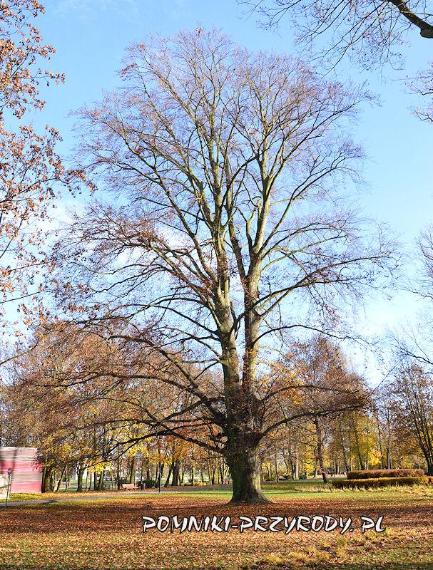 Park Miejski w Sycowie - pomnikowy buk jesienią