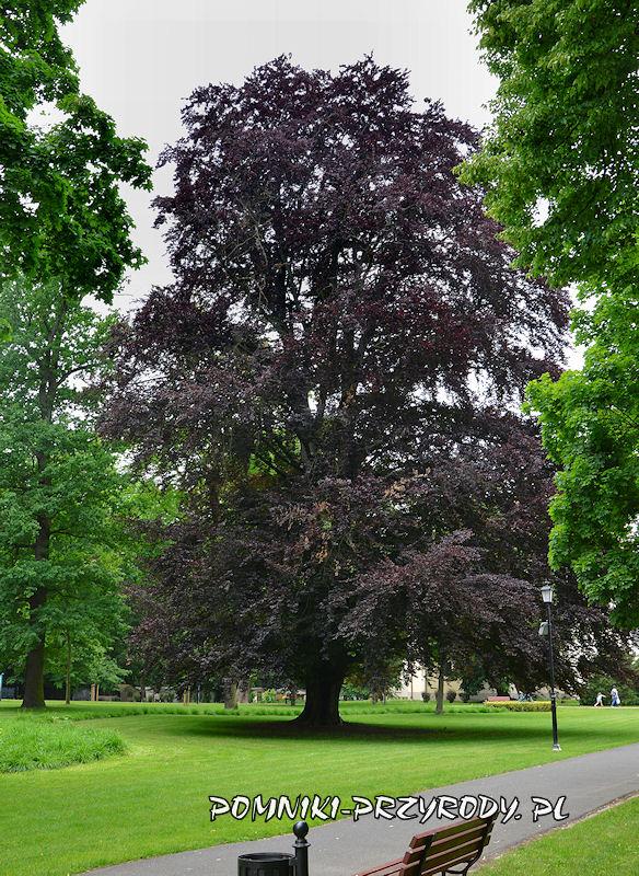 Park Miejski w Sycowie - pomnikowy buk w odm. purpurowej