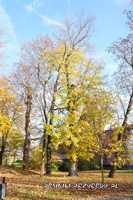 Park Miejski w Sycowie - pomnikowy klon jawor